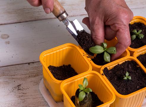 эустома, выращивание рассады, посадка