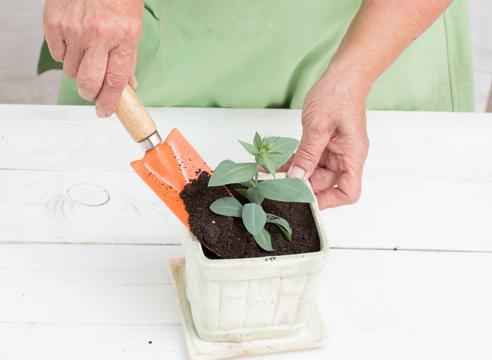 эустома, выращивание рассады, пересадка в контейнер