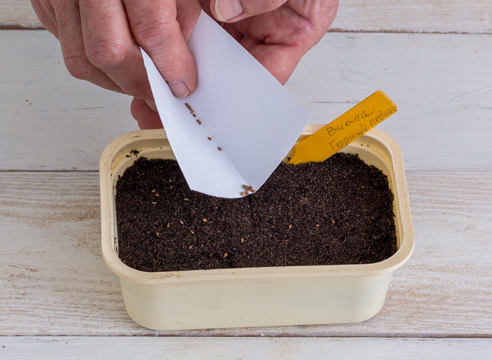 анютины глазки - выращивание рассады, посев семян
