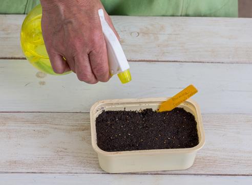 анютины глазки - выращивание рассады, полив