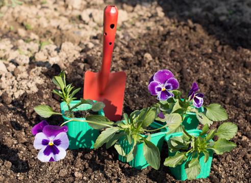 Анютины глазки уход и выращивание в домашних условиях 83