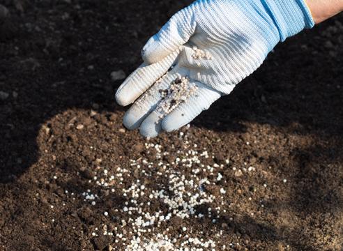 анютины глазки - выращивание рассады, удобрение