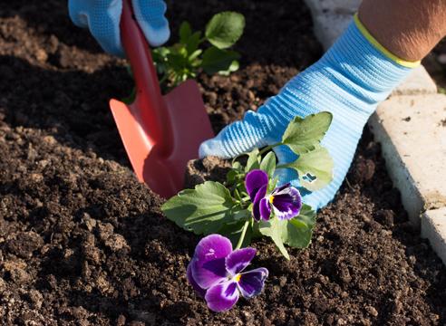 анютины глазки - выращивание рассады, посадка виолы в грунт