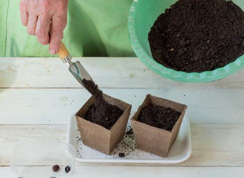 Рассада клещевины в домашних условиях, посадка семян на рассаду