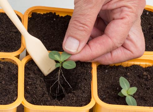 Выращивание эустомы из семян, фото, посадка рассады в горшок
