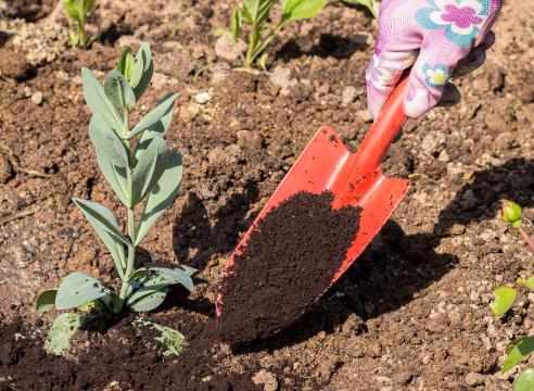 Выращивание эустомы из семян, фото, мульчирование