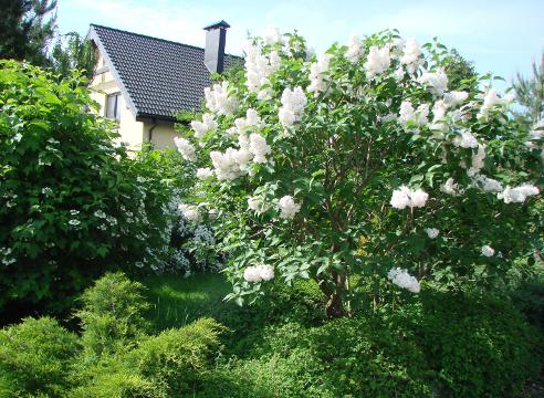 Сад Галины Скалкиной, сирень, цветущие кустарники, идеи для сада, дизайн сада