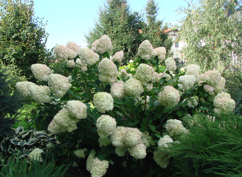 Сад Галины Скалкиной, цветущая гортензия, идеи для сада, кустарники в саду, дизайн сада