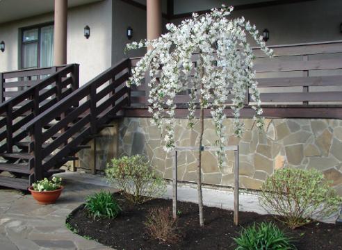 Сад Галины Скалкиной, цветущая штамбовая яблоня, дизайн сада