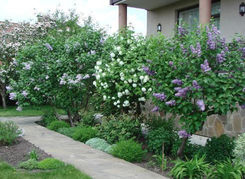 Сад Галины Скалкиной, цветущие сирени, идеи для сада, цветущие кустарники