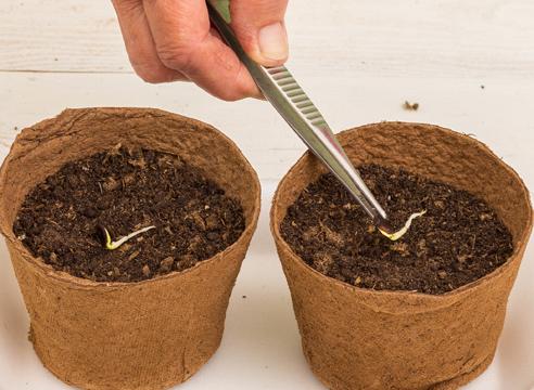рассада арбуза в домашних условиях, мастер-класс, фото, посев семян арбуза