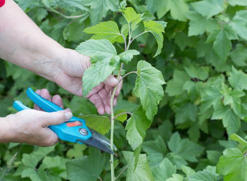 черная смородина, размножение зелеными черенками, фото, мастер-класс, как срезать ветку