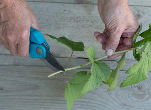 черная смородина, размножение зелеными черенками, фото, мастер-класс, как выглядит черенок