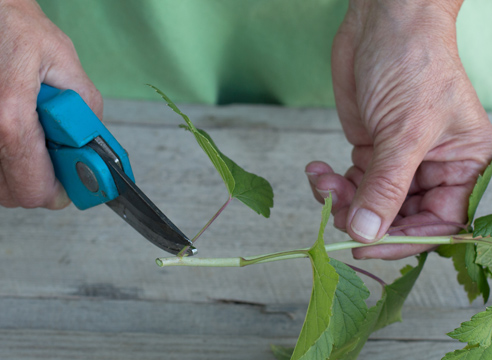 черная смородина, размножение зелеными черенками, фото, мастер-класс, срезаем листья на черенке