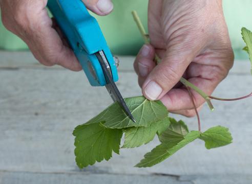 черная смородина, размножение зелеными черенками, фото, мастер-класс, как укоротить листья на черенке