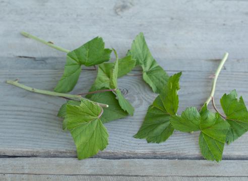 черная смородина, размножение зелеными черенками, фото, мастер-класс, как выглядят черенки черной смородины