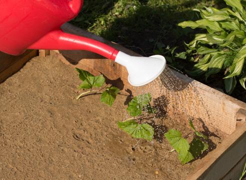 черная смородина, размножение зелеными черенками, фото, мастер-класс, полив черенков