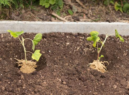 черная смородина, размножение зелеными черенками, фото, мастер-класс, посадка черенков в грунт