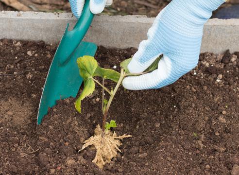 черная смородина, размножение зелеными черенками, фото, мастер-класс, посадка черной смородины в грунт