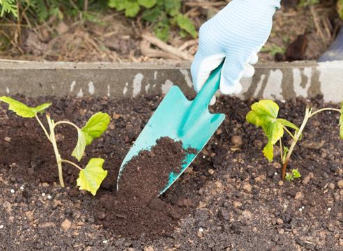 черная смородина, размножение зелеными черенками, фото, мастер-класс, мульчирование