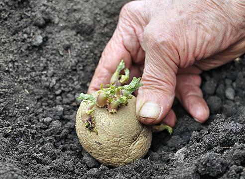 Когда сажать картофель по Лунному календарю 2016 года