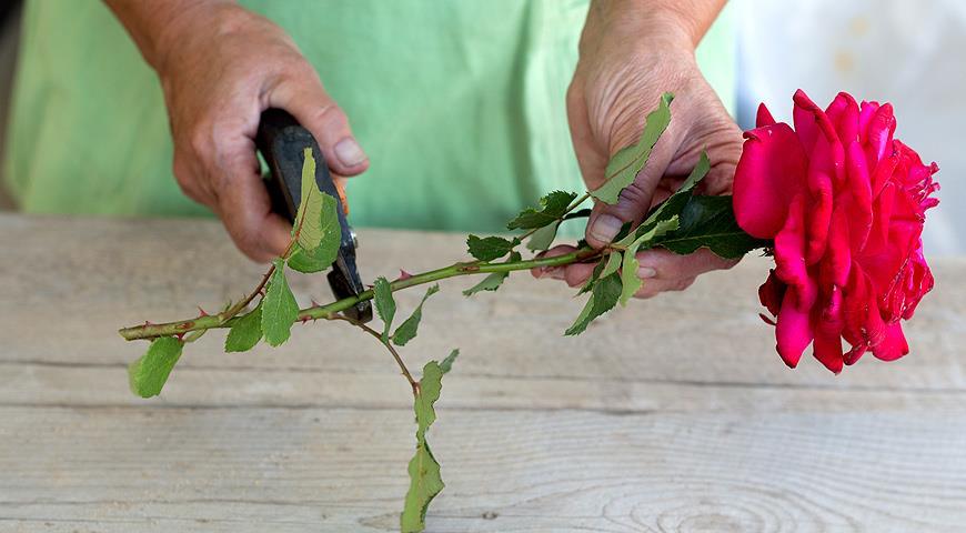 роза из букета, черенкование, розы, как размножить розы