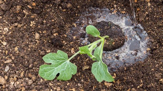 Выращивание рассады арбуза в средней полосе