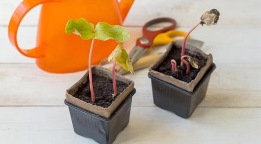 Посев клещевины на рассаду