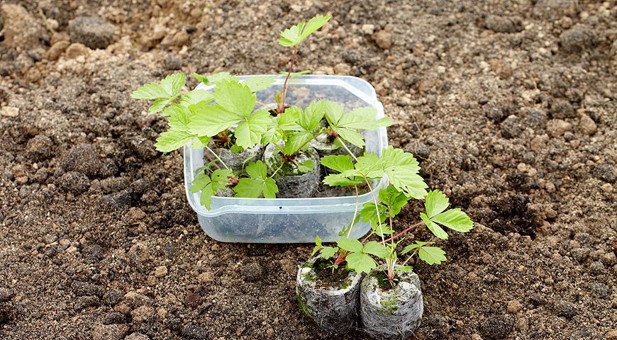 Весенняя рассада земляники садовой (клубники как определить)