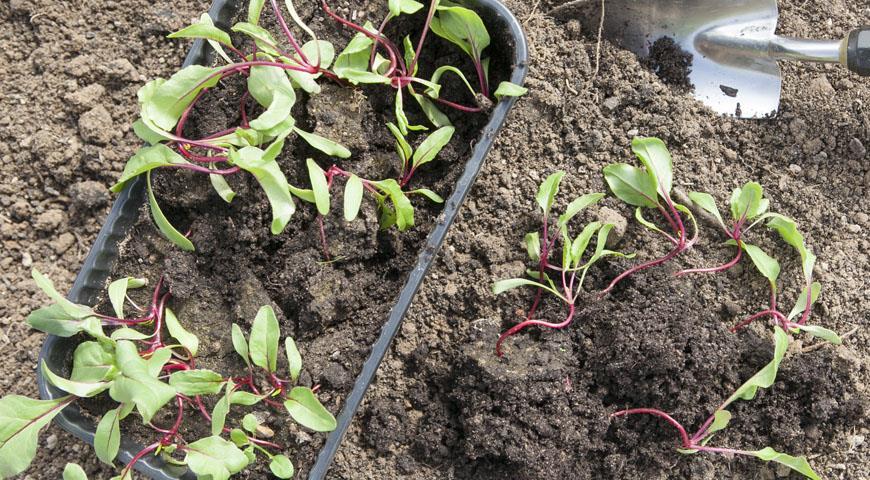Посадка и выращивание свеклы в открытом грунте: уход и прореживание 76