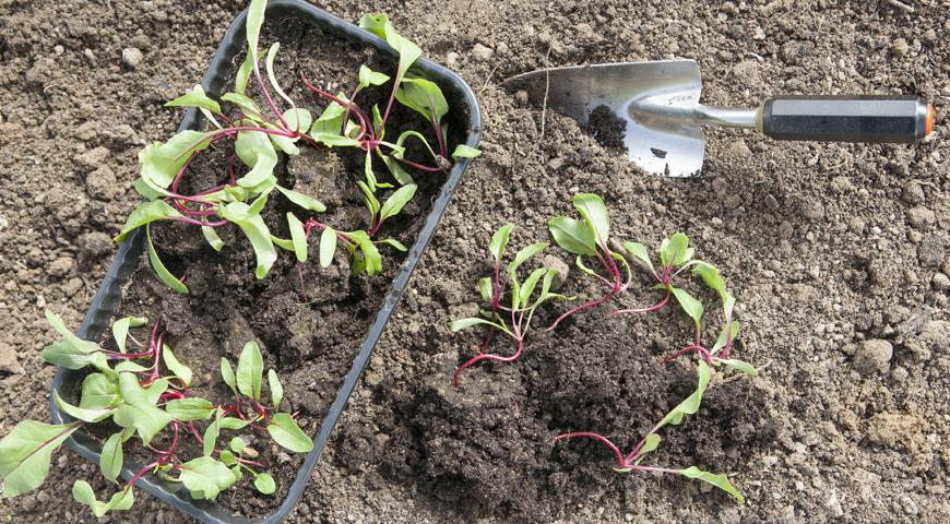 planting beet seedlings