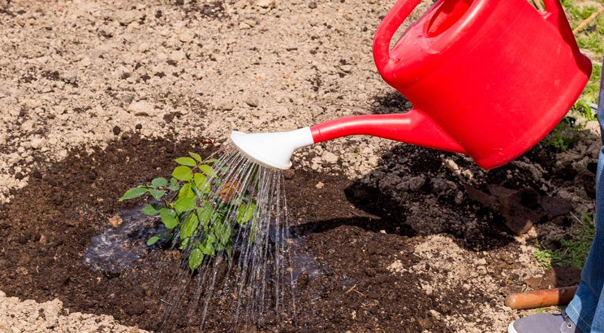 Как правильно сажать розы в грунт в фото 22