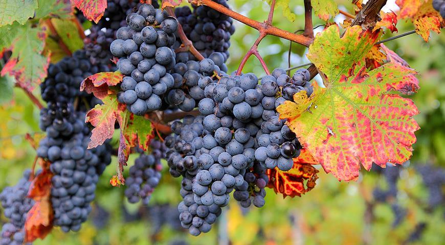 Как правильно выращивать виноград