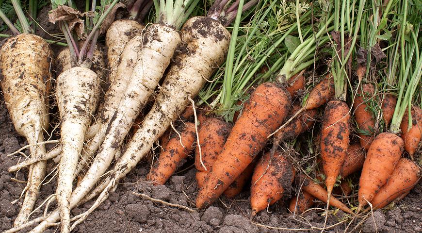 Когда сажать морковь в 2017 59
