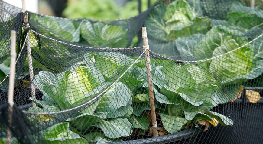 Укрытие капусты от вредителей