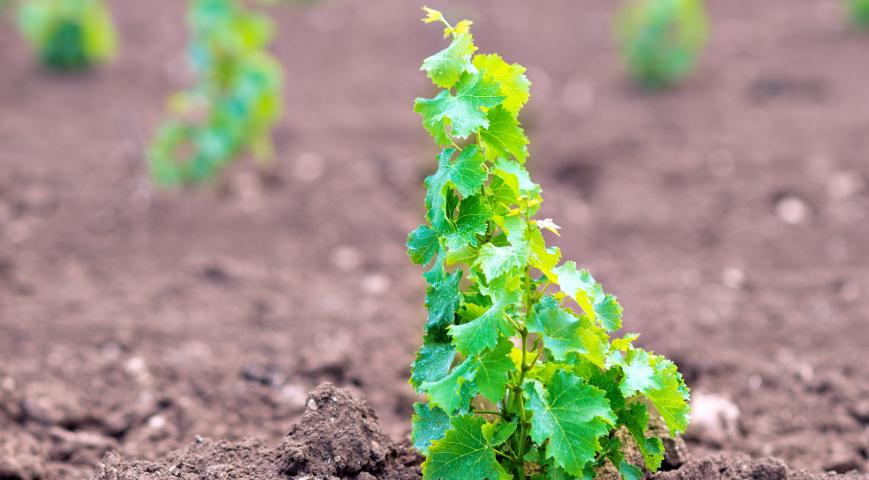 Молодой виноград из косточки