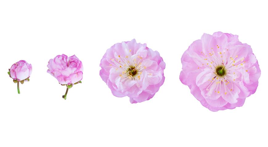Цветы миндаля трехлопастного