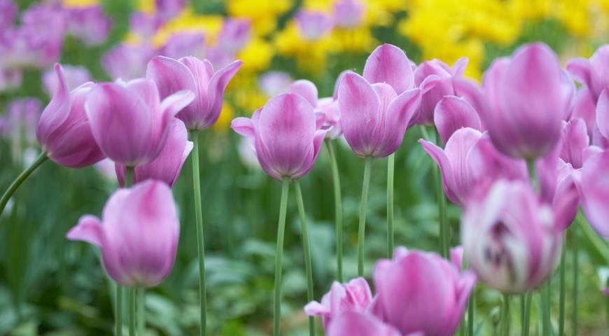 Когда сажать гиацинты и тюльпаны 3