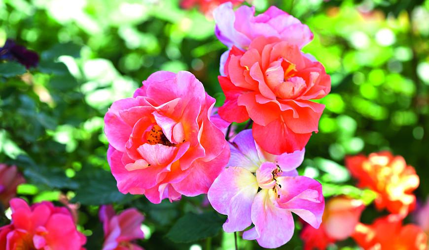 Можно ли сажать розы в тени?