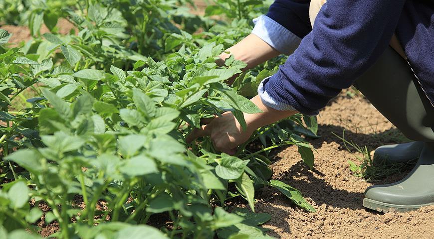 Все о посадке и особенностях выращивания картофеля
