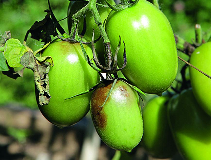 Болезни томатов, фитофтороз
