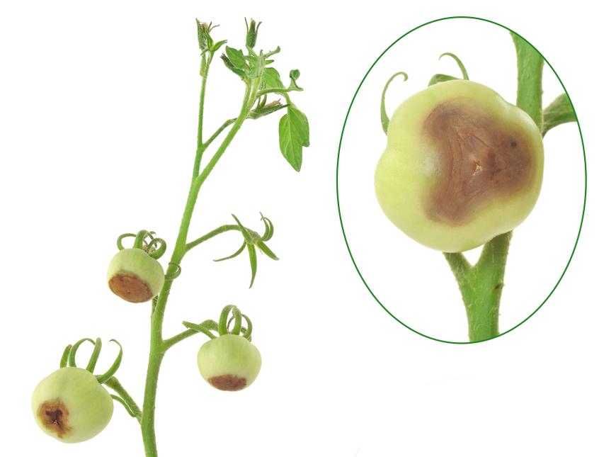 Болезни томатов, вершинная гниль