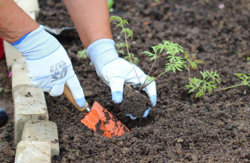 Как вырастить прострел из семян