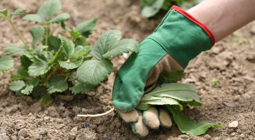 Уход за клубникой садовой после плодоношения