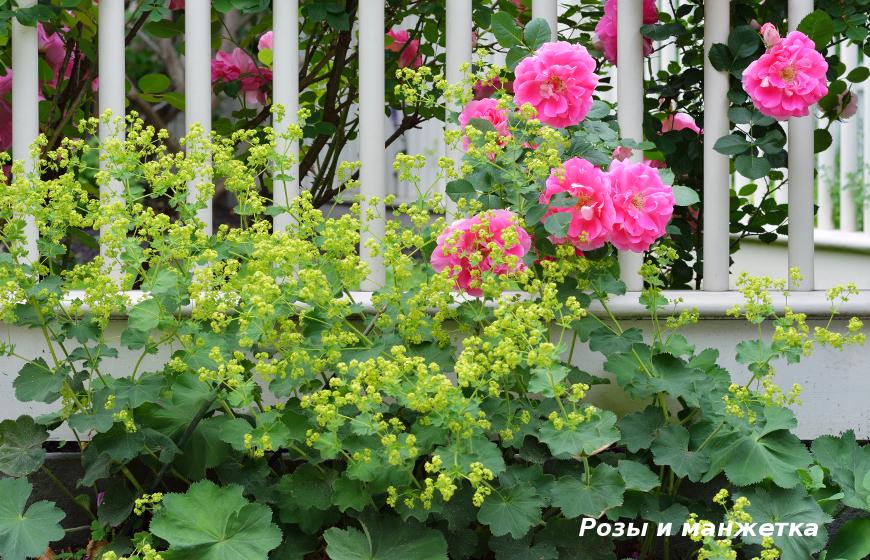 Розы и манжетка