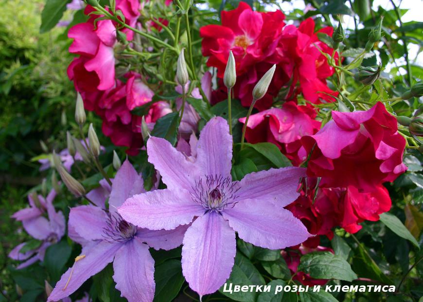 Цветки розы и клематиса