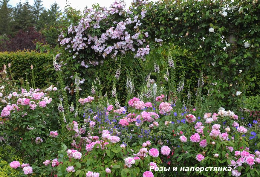 Розы и наперстянка