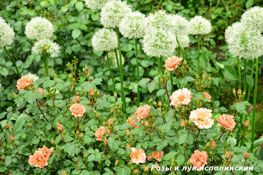 Розы и лук исполинский