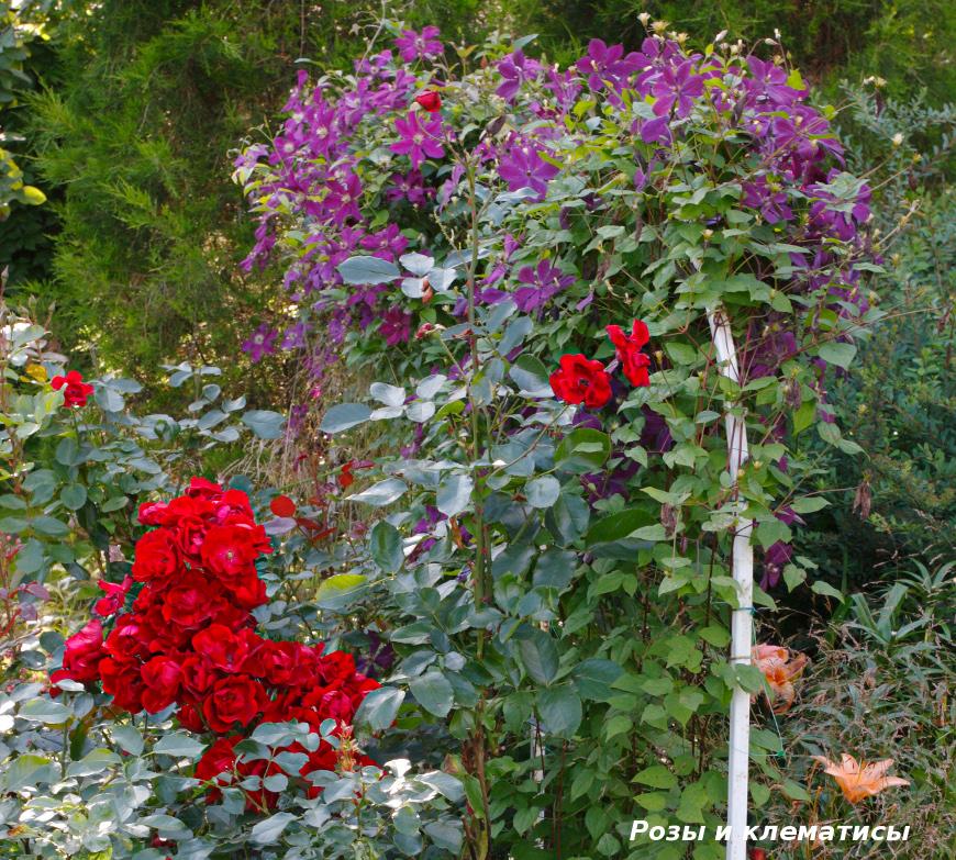 Розы и клематисы