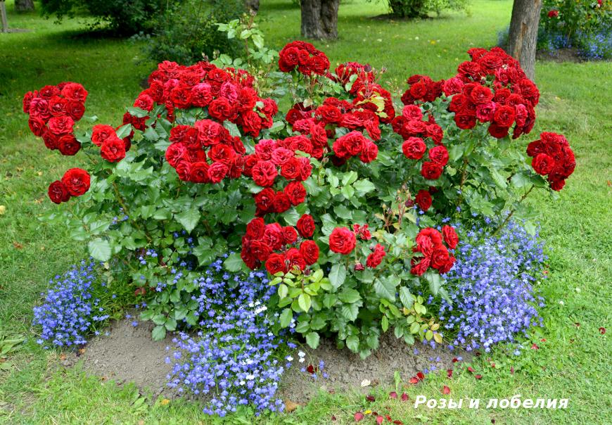 Розы и лобелия